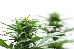 大麻花 库存图片