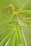 大麻ruderalis 免版税库存图片