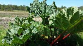 大黄植物在夏天 免版税库存照片
