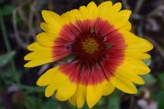 大黄色和红色天人菊属植物花 库存照片