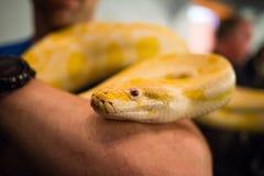 大黄色缅甸Python在人的手上举行了 免版税库存照片