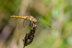 大黄色蜻蜓sympetrum vulgatum坐一片干燥草叶 免版税库存图片
