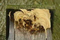 大黄蜂和大黄蜂在鸟摊筑巢 库存照片