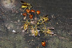 大黄蜂和瓢虫在树皮 免版税库存图片