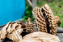 大黄蜂棕色巢在木桶的在一个晴朗的早晨 免版税库存图片