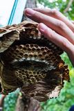 大黄蜂残破的巢在man& x27的; s手 免版税库存图片