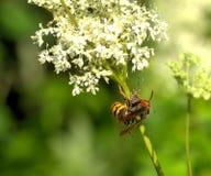 大黄蜂的早餐 蓝色域开花草草甸天空夏天下 免版税库存照片