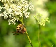 大黄蜂的早餐 蓝色域开花草草甸天空夏天下 库存图片