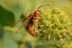 大黄蜂 免版税图库摄影