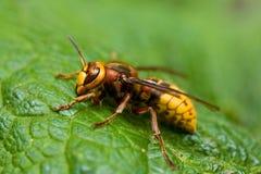 大黄蜂 免版税库存图片