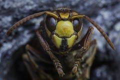 01大黄蜂 图库摄影