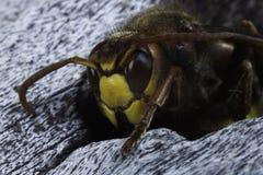 01大黄蜂 免版税图库摄影
