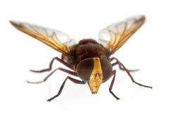 大黄蜂hoverfly仿造volucella zonaria 库存图片