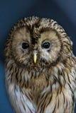 大黄褐色,乌拉尔猫头鹰-猫头鹰类uralensis,特写镜头 库存照片