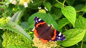 大黑人蝴蝶国君在有花的植物走,并且绿色在哺养以后离开 影视素材