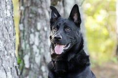 大黑德国牧羊犬混合品种狗,宠物抢救 库存图片