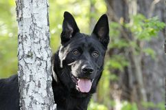 大黑德国牧羊犬混合品种狗,宠物抢救 免版税库存照片