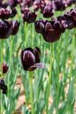 大黑暗的紫罗兰色andwhite郁金香在日立海滨公园 库存图片