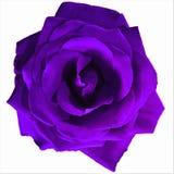 大黑暗的紫色上升了有白色背景 库存照片