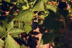 大黑莓在阳光下在分支 库存图片