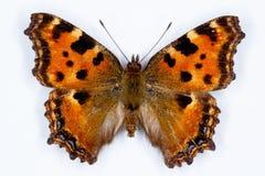 大龟甲, Nymphalis polychloros蝴蝶 库存图片