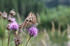 大,棕色,美丽,明亮的蝴蝶坐一朵淡紫色花在草甸 库存图片