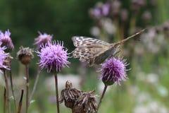 大,棕色,美丽,明亮的蝴蝶坐一朵淡紫色花在草甸 免版税库存图片