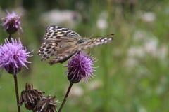 大,棕色,美丽,明亮的蝴蝶坐一朵淡紫色花在草甸 免版税库存照片