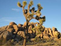 以大,高约书亚树反对蓝天和古老花岗岩冰砾为特色的偶象沙漠风景 免版税图库摄影