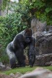 大,黑大猩猩画象  免版税库存照片