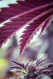 大麻伞 免版税图库摄影