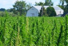 大麻农场 库存照片