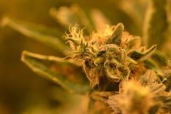大麻厂宏指令芽 免版税库存图片