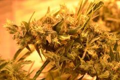 大麻厂宏指令芽 库存图片