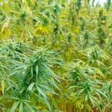 大麻发芽领域 库存照片