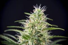 大麻可乐黑色俄国张力最新花isol细节  免版税库存图片