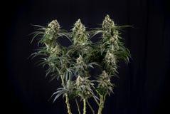 大麻可乐绿色裂缝与可看见的头发的大麻张力 免版税库存图片