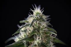 大麻可乐绿色裂缝与可看见的头发的大麻张力 免版税图库摄影