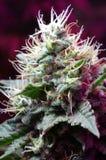 大麻可乐 免版税库存照片