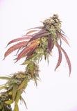 大麻可乐& x28; Mangopuff大麻strain& x29;使用可看见的头发 库存图片
