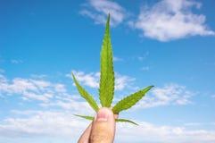 大麻叶子在人手上 免版税库存图片