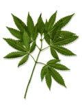 大麻叶子,大麻的传染媒介例证 免版税图库摄影