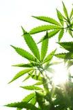 大麻年轻叶子  免版税库存照片