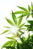 大麻年轻叶子  免版税图库摄影