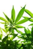 大麻年轻叶子  库存图片