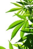 大麻年轻叶子  免版税库存图片