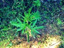 大麻叶子 库存照片