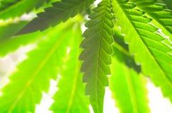 大麻叶子 库存图片