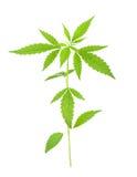 大麻在白色背景的漂白亚麻纤维的l植物 库存照片