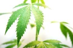 大麻满地露水的叶子  免版税库存照片